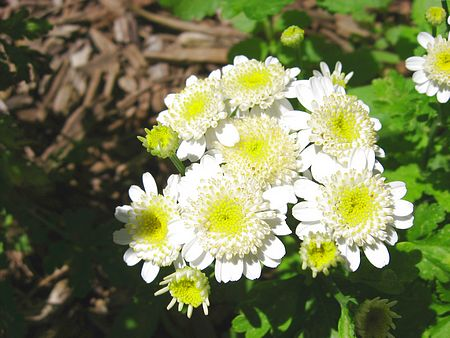 Feverfew- It was strong-smelling and used for headaches